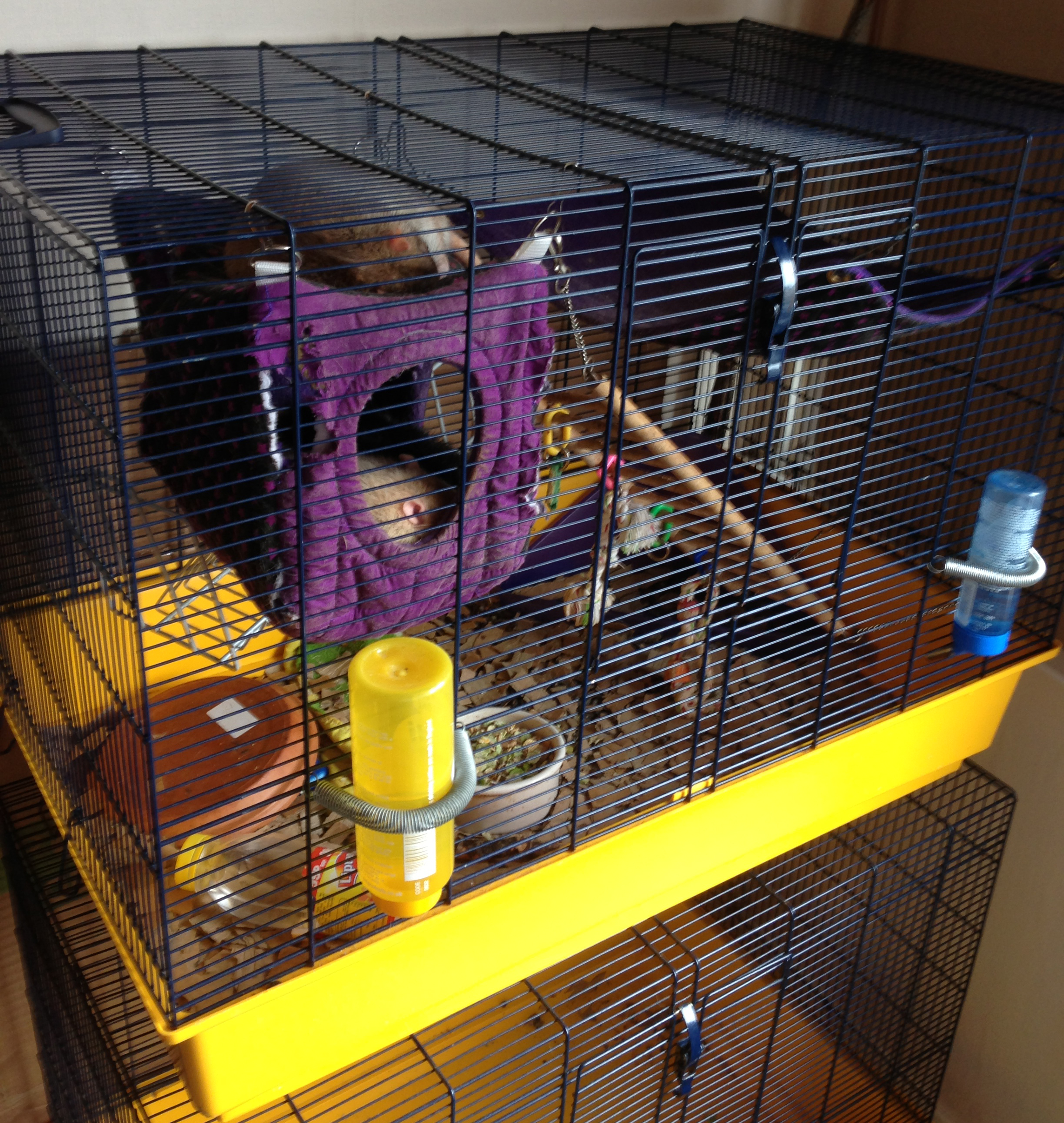 Recommanded Cages Gallifrey Stud Breeder Of Pet Rats